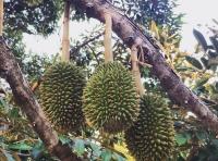 Какие фрукты нельзя вывозить из Таиланда
